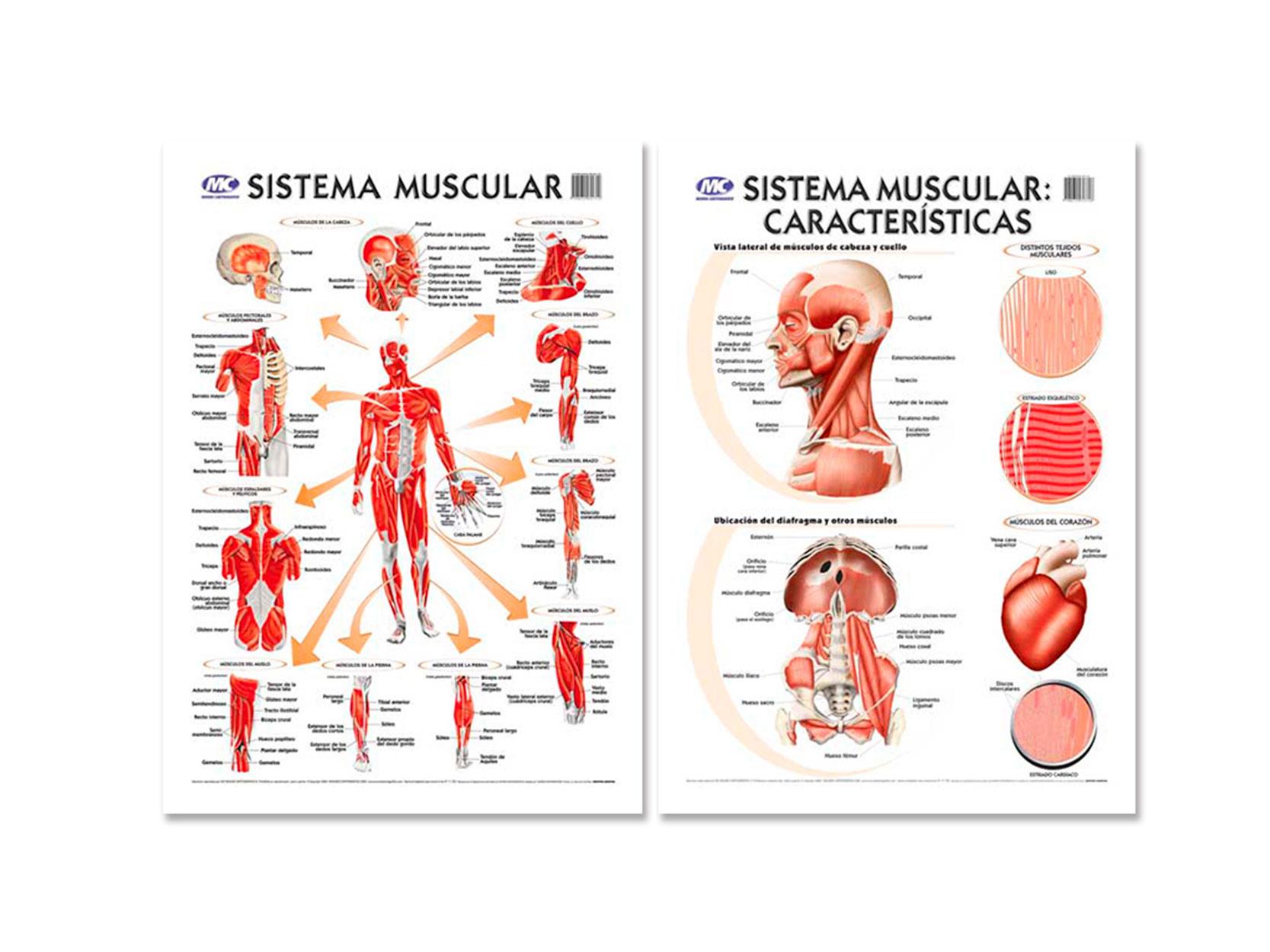 LAMINA MURAL D/C SISTEMA MUSCULAR | Librería San Jerónimo